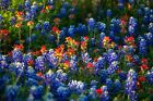 Flower Photography Print - Picture of Bluebonnets and Indian Paintbrush in Texas