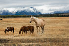 Western Photography Print - Picture of Palomino Horse in Grand Tetons