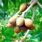 SHEA BUTTER -  Gently Refined - PURE- multiple sizes