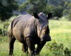 A Photo Of A Wild Rhino Stood In A Field WLD0157 Art Print A4 A3 A2 A1