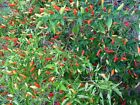 Tabasco Pepper --HOT!!!! Very Colorful and a Favorite!!! FREE SHIPPING!!!