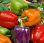 Mixed Bell Pepper Seeds - ALL COLORS!!! GREAT MIX!!!! FREE SHIPPING!!