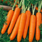 "Carrots ""Scarlet Nantes"" _Old time Sweet and Juicy Favorite!! FREE SHIPPING!!!!"