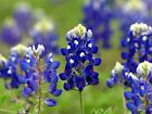 Texas Bluebonnet - Lovely blue wild flowers! Beautiful floral displays!! WOW!!!