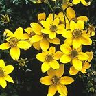 """Swamp Marigold"" - Brilliant yellow-gold blossoms!! Will re-seed! Free Shipping"