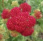 Red Yarrow Seeds - A unique color of reddish pink cluster-like flowers!! WOW!!!!