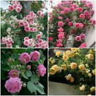 100/400pcs Chinese Rose Seeds, 4 Color Rose Flowers Seeds