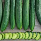"Sweet Success Hybrid Cucumber Seeds - 12"" long burpless dark green cucumbers!!"