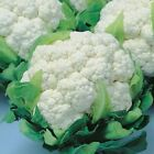 Snow Crown Hybrid F1 Cauliflower Seeds - Terrific quality and very flavorful.!!