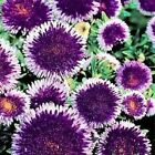 Aster Pompon Blue Moon Flower Seeds (Callistephus Pompon) 50+Seeds