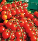 Sweet Million F1 Hybrid Tomato Seeds - Plant produces over 500 cherry tomatoes!