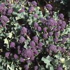 Red Spear Broccoli Seeds - very small, sweet purple flowering shoots!! Beautiful