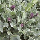 Santee F1 Hybrid Broccoli Seeds - variety that can be harvested continuously!!!