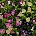 Wishbone Flower Hybrids Mix Seeds (Torenia Fournieri) 10+Seeds