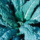 Kale Seeds - 'Lacinato' - Dinosaur Kale!! Huge Yields & Tasty!! FREE SHIPPING!!!