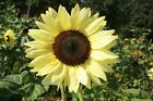 "Lemon Queen Sunflower -A ""Majestic"" & Beautiful ""Unique"" Sunflower-Free Shipping"