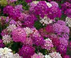 Candytuft Tall Mix Seeds -  Fast-Growing - Fragrant Flowers - Free Shipping!!!