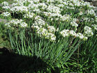 Garlic Chives so TASTY and Beautiful...Grow your own!!! FREE SHIPPING!!!!