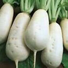 Vertus Marteau Turnip Seeds - Old French Heirloom -VERY TASTY!!!  Free SHIP!!!