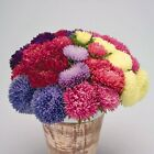 Powder Puff Aster - Excellent cut flowers for bouquets! Mum-like double flowers!