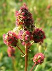 Small Burnet - Salad Burnet - Provides a nutty, cucumber flavor to salads!! mmm.