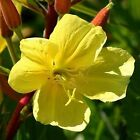 Tall Evening Primrose - A golden-yellow beauty!! A plant for a deck or balcony !