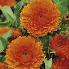 Calendula 'Ball's Orange' - Stunning three-inch double blooms!! Easy to grow!!!