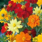Cosmos 'Dwarf Mixed' - A bright mix of colors!! Quick to flower from seed!! WOW!