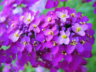 Globe Candytuft seeds - Beautiful Fresh Cut Flowers!!! Very Showy!!!! Free Ship!