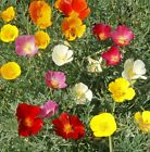 Mixed California Poppy Seeds - Scads of gorgeous 2-inch satiny mixed poppies!!!