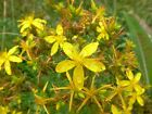 St. John's Wort Seeds - Fragrant yellow flowers..Very easy to grow!! Free Ship!!