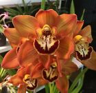 Cymbidium__GORGEOUS REDHEAD__EZ OUTDOORS orchid GROWN FROM SEED not clone MATURE