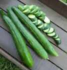 Tasty Green (F1) Cucumber Seeds-Burpless with no bitterness! Yields of 18 to 20