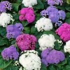 Ageratum Mix Flower Seeds (Ageratum Mexicanum Mix) 200+Seeds