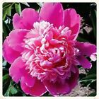 Aster Duchess Pink Flower Seeds (Callistephus Tall Paeony) 50+Seeds