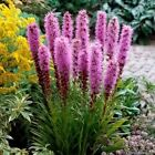 Gayfeather Blazing Star Flower Seeds (Liatris Spicata) 50+Seeds