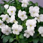 Viola White Perfection Flower Seeds (Viola Cornuta) 50+Seeds