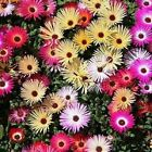 Ice Plant Mix Flower Seeds (Dorotheanthus Bellidiformis Mix) 200+Seeds