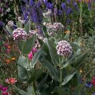 Showy Milkweed Flower Seeds (Asclepias Speciosa) 50+Seeds