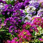 Alyssum Paletta Mix Flower Seeds (Lobularia Maritima) 200+Seeds