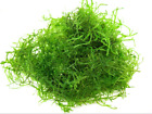 Java moss fresh water aquarium live aquatic plant BUY 2 GET 1 FREE