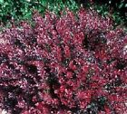 Grow Your Own Weeping Cherry Trees 10 Fresh Cuttings More Trees and Shrubs