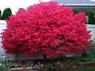 Grow Your Burning Bush Shrubs 10 Fresh Cuttings Plus More Trees and Shrubs