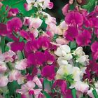 Sweet Pea Pearl Mix Flower Seeds (Lathyrus Latifolius) 25+Seeds