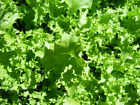 Endive Seed: Salad King Endive   Fresh Seed    FREE SHIPPING!!!!!!!!!!