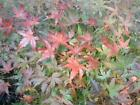 JAPANESE MAPLE TREES FOR LANDSCAPE OR BONSAI FLAT RATE SHIPPING