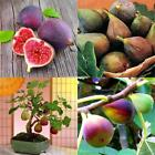50pcs Fig Tropical Seeds Ficus Carica Seeds Bonsai Rare Fruit Seed Home EN24H