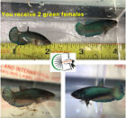 02 - Live Betta Tropical Fish- Imported Green HM Females- Free Shipping