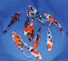 Tri Colour Koi Carp for sale | All sizes | new 2019 pond season fish