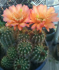 Echinopsis grandiflorus Hybrid Cactus Great Large Colorful Flowers Golden Torch